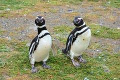 Magellanic Penguins Stock Photo