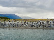 The magellanic penguins on the islands of tierra del fuego patagonia royalty free stock image