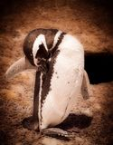 Magellanic Penguins. Are located in the Punta Tombo Natural Reserve in Patagonia Argentina stock photos