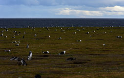 Magellanic Penguins,Magdalena Island, Chile Royalty Free Stock Photos