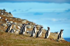 Magellanic penguins in natural environment Royalty Free Stock Images