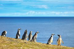 Magellanic penguins in natural environment Stock Photography