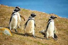 Magellanic penguins in natural environment Stock Photo