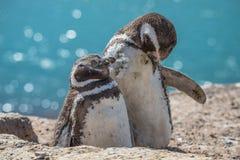 Magellanic penguins at the nest, peninsula Valdes, Patagonia Royalty Free Stock Image