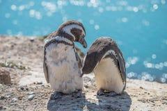 Magellanic penguins at the nest, peninsula Valdes, Patagonia Stock Images