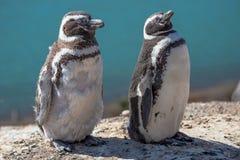 Magellanic penguins at the nest, peninsula Valdes, Patagonia Royalty Free Stock Photography