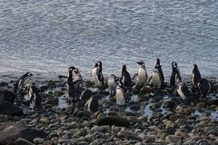 Magellanic Penguins  at the penguin sanctuary on Magdalena Island in the Strait of Magellan near Punta Ar Stock Image