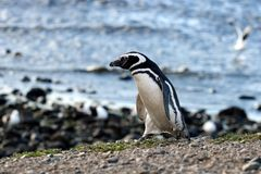 Magellanic Penguins  at the penguin sanctuary on Magdalena Island in the Strait of Magellan near Punta Ar Royalty Free Stock Image