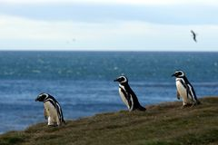 Magellanic Penguins  at the penguin sanctuary on Magdalena Island in the Strait of Magellan near Punta Ar Royalty Free Stock Photography
