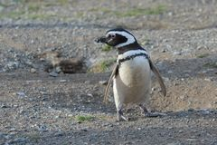 Magellanic Penguins  at the penguin sanctuary on Magdalena Island in the Strait of Magellan near Punta Ar Stock Photography