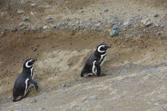 Magellanic Penguins  at the penguin sanctuary on Magdalena Island in the Strait of Magellan near Punta Ar Stock Images