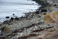 Magellanic Penguins at the penguin sanctuary on Magdalena Island in the Strait of Magellan near Punta Arenas in southern Chile. Stock Images