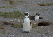 Magellanic Penguins at the penguin sanctuary on Magdalena Island in the Strait of Magellan near Punta Arenas in southern Chile. Royalty Free Stock Images