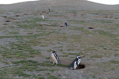 Magellanic Penguins at the penguin sanctuary on Magdalena Island in the Strait of Magellan near Punta Arenas in southern Chile. Stock Photography
