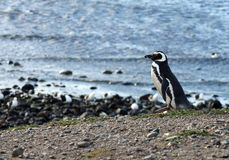 Magellanic Penguins at the penguin sanctuary on Magdalena Island in the Strait of Magellan near Punta Arenas in southern Chile. Stock Image