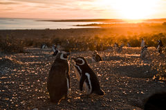 Magellanic Penguins at Punto Tombo Stock Images