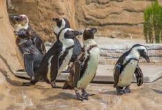 Magellanic penguins. Six magellanic penguins in their natural habitat royalty free stock photography