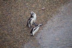 The Magellanic penguins Spheniscus magellanicus at Punta Tombo in the Atlantic Ocean, Patagonia, Argentina. The Magellanic penguins Sphenicus magellanicus on the Stock Photography
