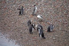 The Magellanic penguins Spheniscus magellanicus at Punta Tombo in the Atlantic Ocean, Patagonia, Argentina. The Magellanic penguins Sphenicus magellanicus on the Stock Photo