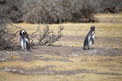 The Magellanic penguins Spheniscus magellanicus at Punta Tombo in the Atlantic Ocean, Patagonia, Argentina. The Magellanic penguins Sphenicus magellanicus at Royalty Free Stock Photos