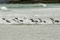 Magellanic penguins (Spheniscus magellanicus) Stock Photography