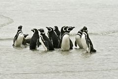 Magellanic penguins (Spheniscus magellanicus) Stock Image