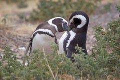 The Magellanic penguins Spheniscus magellanicus at Punta Tombo in the Atlantic Ocean, Patagonia, Argentina. The Magellanic penguins Spheniscus magellanicus, male Royalty Free Stock Image