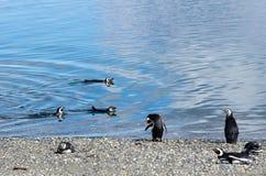 Magellanic Penguins (Spheniscus magellanicus) on M. A day at the beach - Magellanic Penguins (Spheniscus magellanicus) teaching swim lessons at the beach on Stock Photos