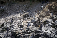 Magellanic penguins Spheniscus magellanicus Royalty Free Stock Images