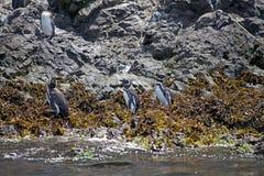 Magellanic penguins Spheniscus magellanicus Stock Image