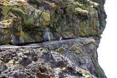 Magellanic penguins Spheniscus magellanicus Stock Photos