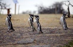 The Magellanic penguins Spheniscus magellanicus at Punta Tombo in the Atlantic Ocean, Patagonia, Argentina. The Magellanic penguins Sphenicus magellanicus at Royalty Free Stock Photo