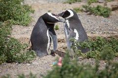 The Magellanic penguins Spheniscus magellanicus at Punta Tombo in the Atlantic Ocean, Patagonia, Argentina. The Magellanic penguins Sphenicus magellanicus at Royalty Free Stock Images