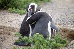 The Magellanic penguins Spheniscus magellanicus at Punta Tombo in the Atlantic Ocean, Patagonia, Argentina. The Magellanic penguins Spheniscus magellanicus at Stock Image