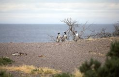 The Magellanic penguins Spheniscus magellanicus at Punta Tombo in the Atlantic Ocean, Patagonia, Argentina. The Magellanic penguins Spheniscus magellanicus at Stock Photo