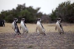 The Magellanic penguins Spheniscus magellanicus at Punta Tombo in the Atlantic Ocean, Patagonia, Argentina. The Magellanic penguins Spheniscus magellanicus at Stock Images