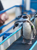 Magellanic penguins, Spheniscus magellanicus Royalty Free Stock Images