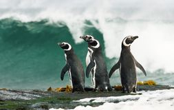 Magellanic penguins standing by the stormy ocean royalty free stock photos