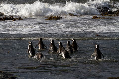 Magellanic Penguins swimming in the arctic sea Royalty Free Stock Images