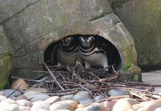 Magellanic Penguins. Stock Photography