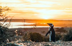 Magellanic Penguins, very early Patagonian golden morning Royalty Free Stock Photos