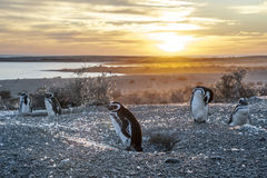 Magellanic Penguins, very early Patagonian golden morning Stock Image