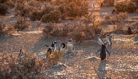 Magellanic Penguins, very early Patagonian golden morning Royalty Free Stock Photo