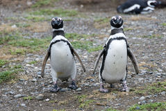 Magellanic penguins walking in Magdalena island, Chile Royalty Free Stock Images