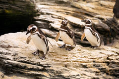 Magellanic penguins walking on the rocks Royalty Free Stock Images