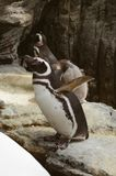 Magellanic penguins in the zoo. Spheniscus magellanicus. Royalty Free Stock Photos