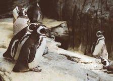 Magellanic penguins in the zoo. Spheniscus magellanicus. Stock Photography