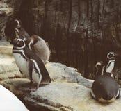 Magellanic penguins in the zoo. Spheniscus magellanicus. Royalty Free Stock Photo