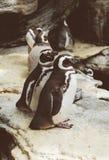 Magellanic penguins in the zoo. Spheniscus magellanicus. Royalty Free Stock Image