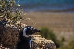 Magellanic-Pinguin Lizenzfreie Stockfotografie